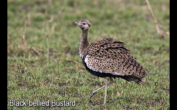 black-bellied-bustard