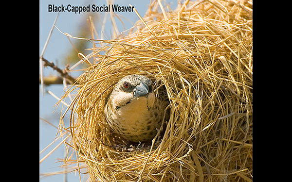 black-capped-social-weaver