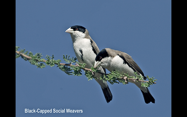 black-capped-social-weavers