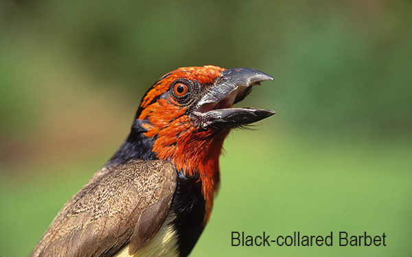blackcollaredbarbet