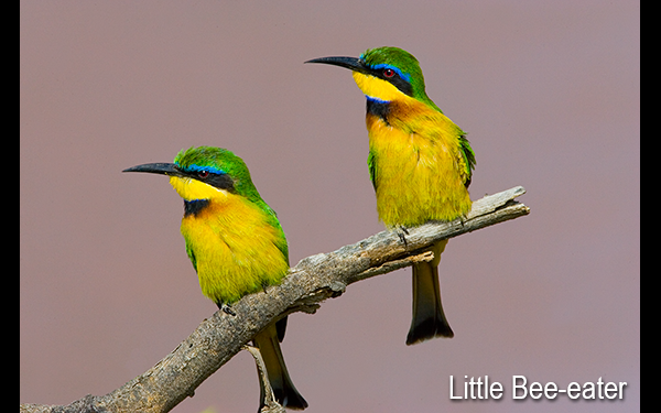 little-bee-eater