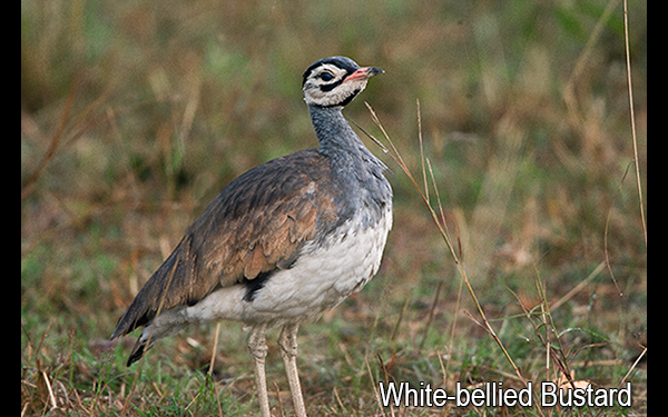 white-bellied-bustard