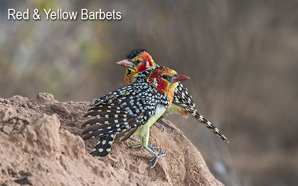yellow-red-barbet