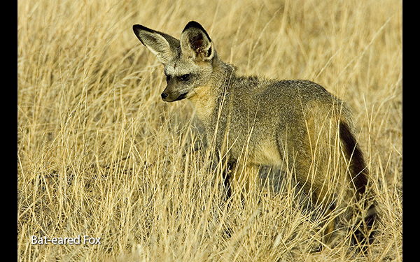 bat-eared-fox-kenya
