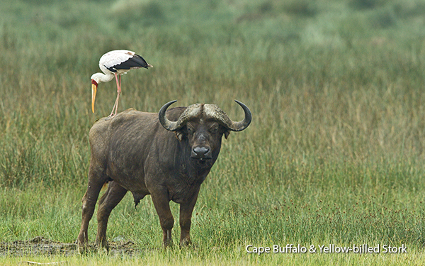cape-buffalo-with-yellow-billed-stork