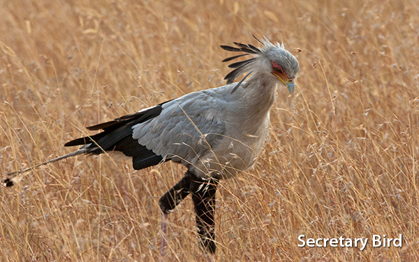 secretary-bird-kenya