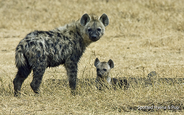 spotted-hyenas