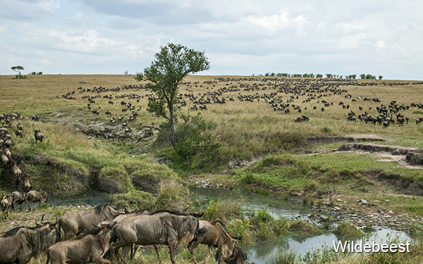 hundreds-of-wildebeest-at-river-crossing