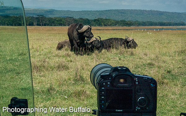 photographing-water-buffalo