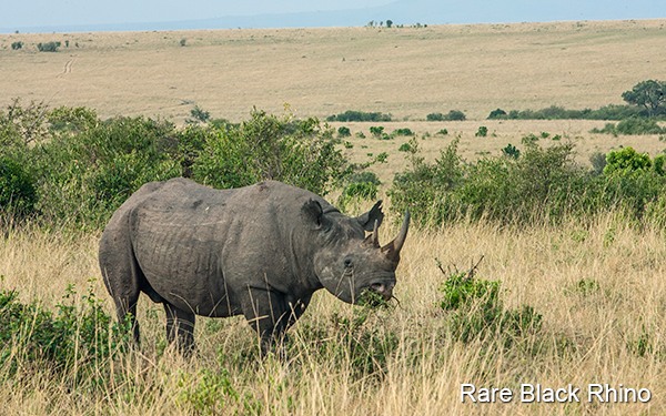 the-rare-black-rhino