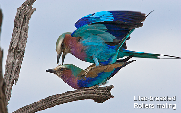 lilac-breasted-rollers-mating