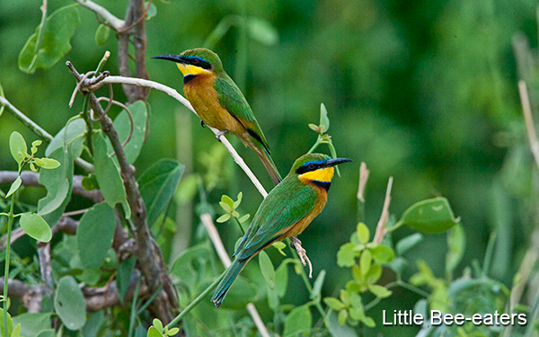 little-bee-eaters