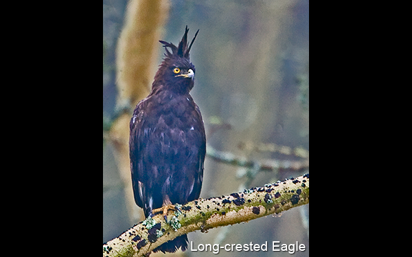 long-crested-eagle-1a