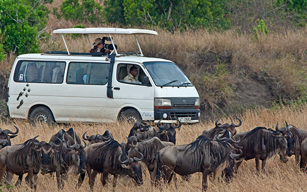 photographing-wildebeest