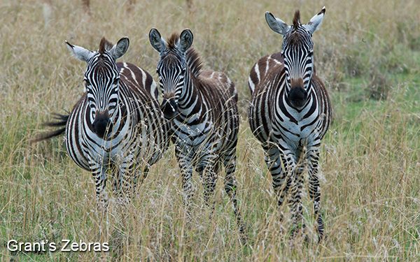 three-grants-zebras