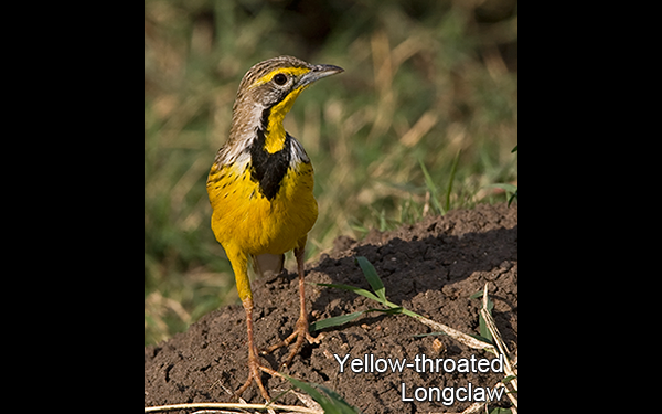 yellow-throated-longclaw