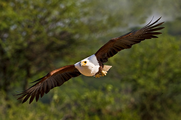 african-fish-eagle-in-flight