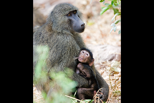 baboon-with-baby