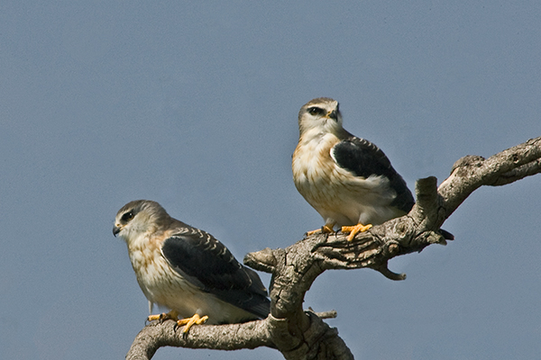black-shouldered-kites_0