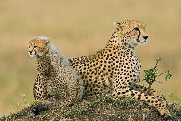 cheetah-and-cub_0