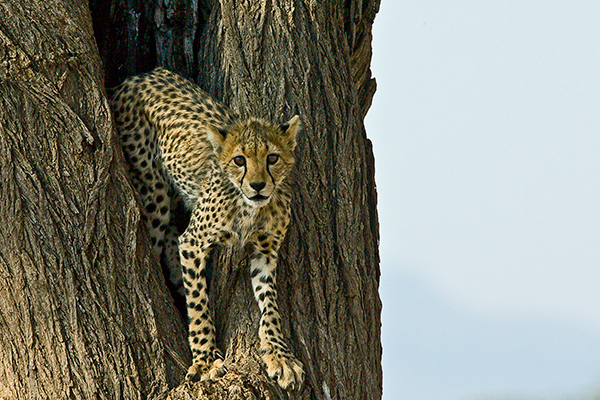 cheetah-in-tree_kenya_0