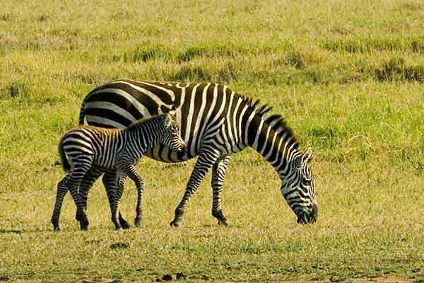 grants-zebra-and-young