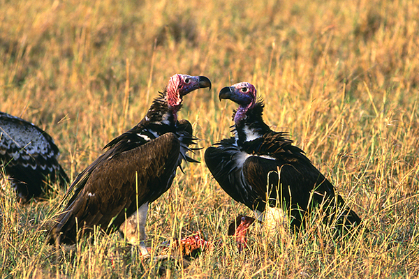 lappet-faced-vulture