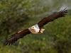african-fish-eagle-in-flight_0