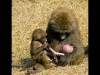 baboon-with-babies