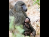baboon-with-baby_0
