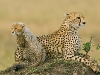 cheetah-and-cub