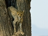 cheetah-in-tree_kenya