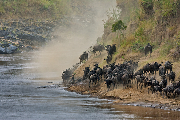 wildebeest-in-dust