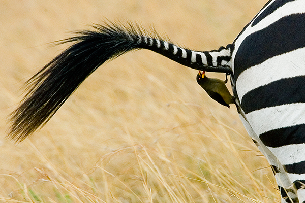 zebra-tail-with-yellow-billed-oxpecker
