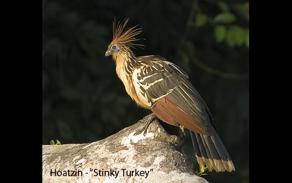 stinky-turkey-hoatzin