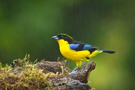thick-billed-euphonia