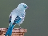 blue-grey-tanager_ecuador
