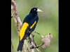yellow-rumped-cacique_ecuador