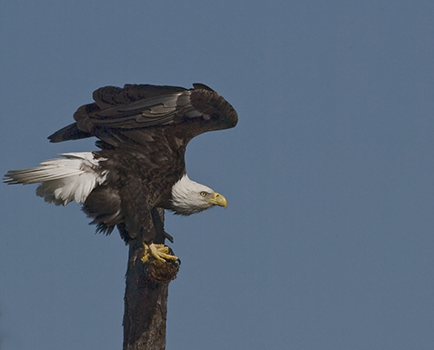 eagle-on-perch-1