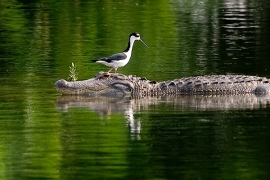 black-necked-stilt-alligator