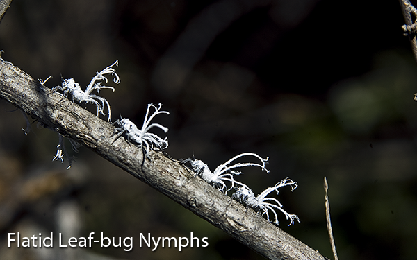 flatid-leaf-bug-nymphs-of-madagascar