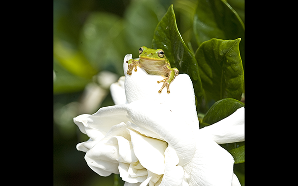 gardenia-friend_tree-frog