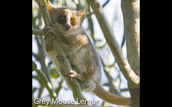 grey-mouse-lemur-madagascar