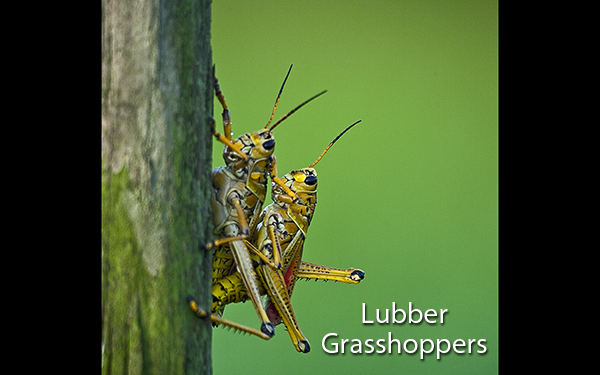 lubber-grasshoppers