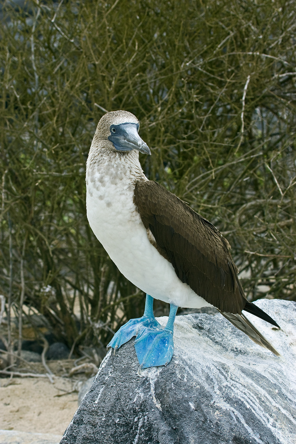blue-footed-booby_galapagos