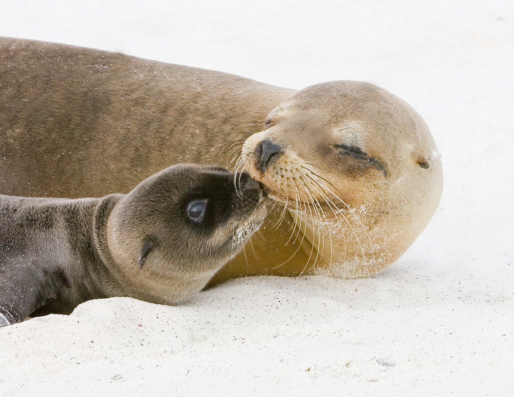 fur-seal-and-pup_galapagos