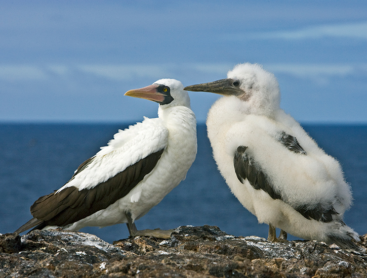 masked-booby-with-chick