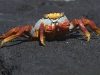 sally-lightfoot-crab_galapagos