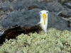 waved-albatross_galapagos