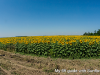 my-six-foot-driver-guide-sunflowers